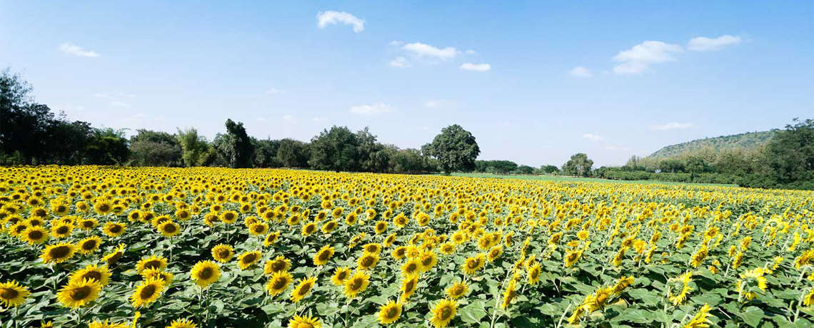 Super Sale Bangkok Khao Yai + Wine Tasting & Sunflower Festival