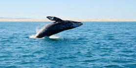 Lihat Gold Coast Whale Watching Tour