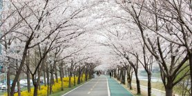 Favorite Korea Cherry Blossom + Gwangmyeong & BMW Center